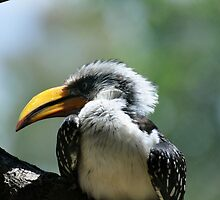 Yellow Billed Hornbill by mltrue