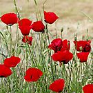 Poppies by Robert Abraham