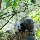 Sleeping Raccoon by Vac1