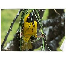 NOW YOU SEE, THIS IS HOW IT'S DONE! - (SOUTHERN) MASKED WEAVER –  SWARTKEEL GEELVINK - Ploceus velatus Poster