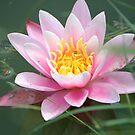 Neighbour's Pink Water Lily by karina5