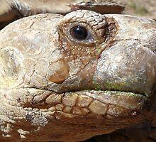 Aldabra Giant Tortoise by Carla Jensen