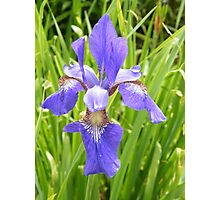 Blue Blue Iris Photographic Print