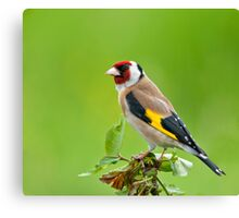 Goldfinch on tree top Canvas Print