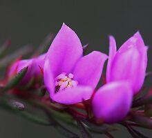 Boronia falcifolia  by andrachne