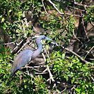"""  Tricoloured Heron  "" by fortner"
