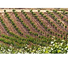 Field Of Vines Photographic Print