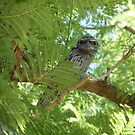 Tawny frogmouth by Sue Downey