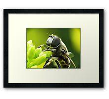 Bee Mimic 1  Framed Print