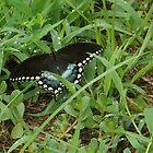 black butterfly by ssphotoshop