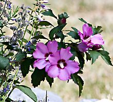 Flowering Rose of Sharon by Sherry Hallemeier