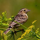 Grasshopper Sparrow by John Absher