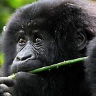 He seems to say,'This is Mine'. Juvenile Mountain Gorilla Eating, Kwitonda Group, Rwanda, East Africa by Carole-Anne