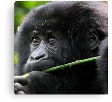 He seems to say,'This is Mine'. Juvenile Mountain Gorilla Eating, Kwitonda Group, Rwanda, East Africa Canvas Print