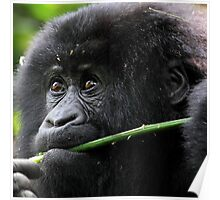 He seems to say,'This is Mine'. Juvenile Mountain Gorilla Eating, Kwitonda Group, Rwanda, East Africa Poster