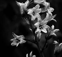Bluebells, mono by Agnes McGuinness