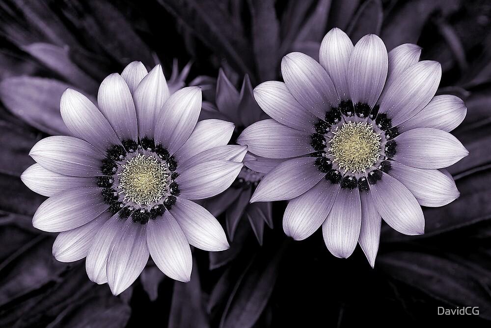 Daisy Duo by DavidCG
