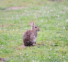 Bunny in a field by thermosoflask