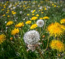 Dandelion flowers by Laurence Norah