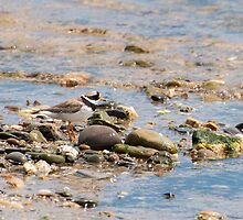 Ideally camouflaged, ring plover, Bannow Beach, County Wexford by Andrew Jones