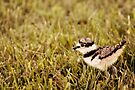 Baby Killdeer - 1 Day old by Lynda  McDonald
