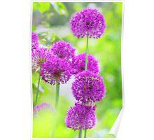 Allium Traum Poster