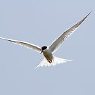 Common Tern by Robert Abraham
