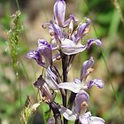 Violet Bird's-nest Orchid by solena432
