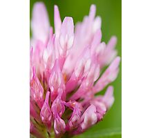 Red Clover Photographic Print