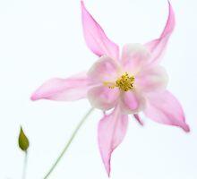 aquilegia, flower, garden, Great Dixter, Great Dixter Gardens by Heather Buckley