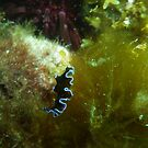 Tiny Little Flatworm - Black Point, South Australia by Dan & Emma Monceaux