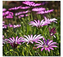 Purple & White Photographic Print