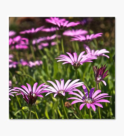 Purple & White Photographic Print