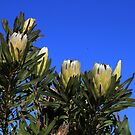 Bot river Protea by croust