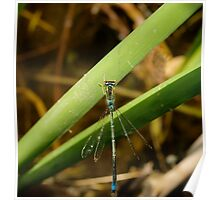 Beautiful Damsel Fly Poster