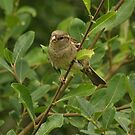 Hedge Sparrow by Dikkidee