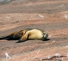 Australian Sealion by mncphotography