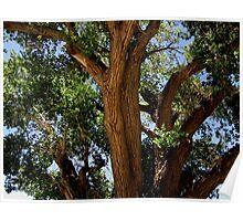 Cottonwood Closeup Poster