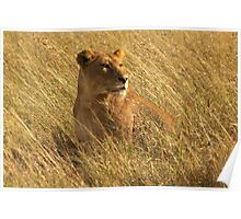 Lioness, Serengeti Poster