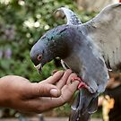 Hungry Pigeon by Roxanne du Preez