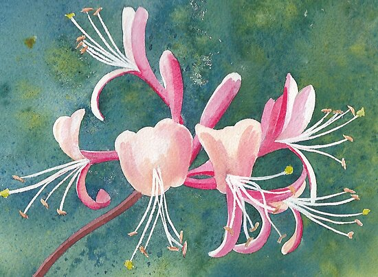 Honeysuckle by Val Spayne