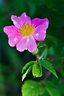 Prairie Rose by Adam Bykowski