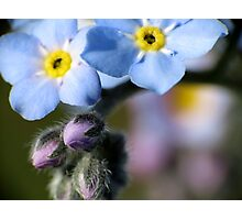 Forget-Me-Nots 6 Photographic Print
