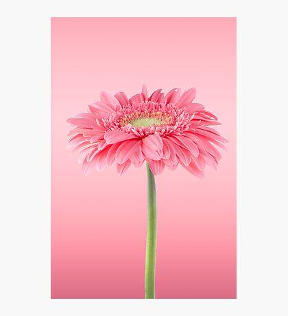 Pink gerbera daisy flower Photographic Print