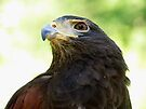 Harris Hawk Portrait by Veronica Schultz