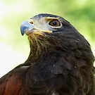 Harris Hawk Portrait by Veronica Schultz