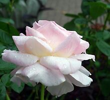 Pale Pink Dewey Rose by Janelle Pacheco
