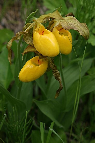 Large Yellow Lady's Slipper by Vickie Emms