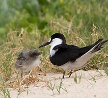 Sooty Tern and chick, Lord Howe Island, Australia by Erik Schlogl