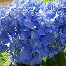 Hydrangea flower by henuly1